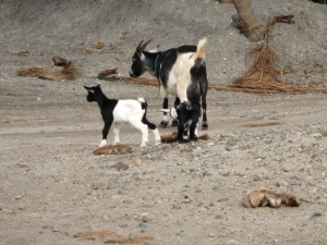 These goats are among many photos that Denzel has taken of animals.