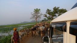Cattle on road photo