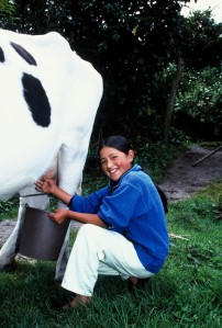 girl milking cow