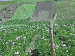 fields of carnations growing